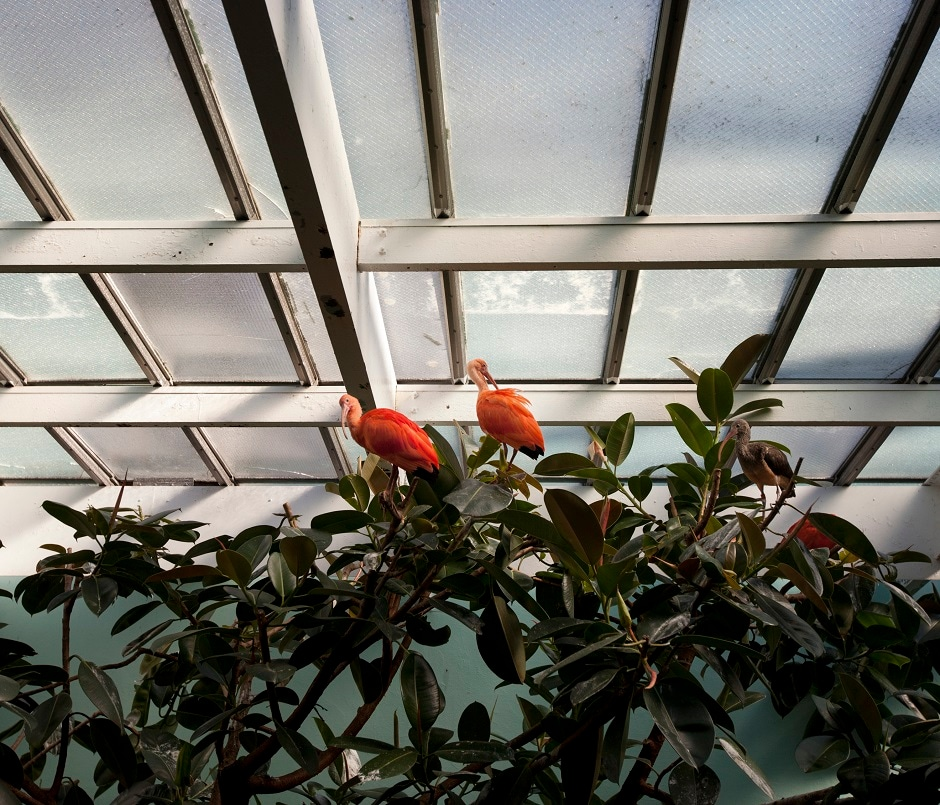 Scarlet Ibis in the exhibit at the Bronx Zoo.