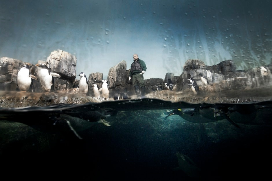 A zoo keeper feeding the Gentoo Penguins inside the Penguin exhibit at the Central Park Zoo, New York.