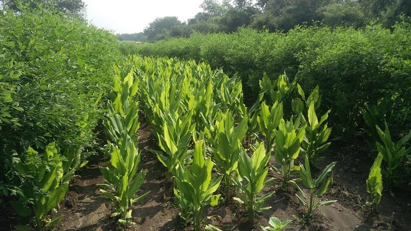 Multi-cropping on Sharma's field, where haldi is grown alongside toor daal