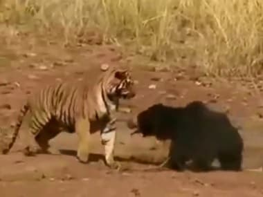 A youtube screengrab of the intense fight between a sloth bear and a tiger.