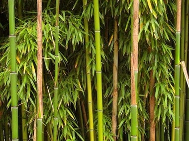 Cabinet approves restructured bamboo mission with outlay of Rs 1,290 cr