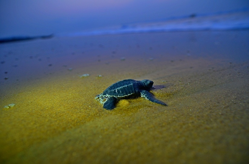 A turtle moves towards the sea