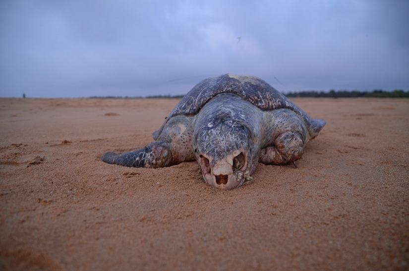 Inside the Olive Ridley turtles annual mass hatching in Odishas Ganjam district