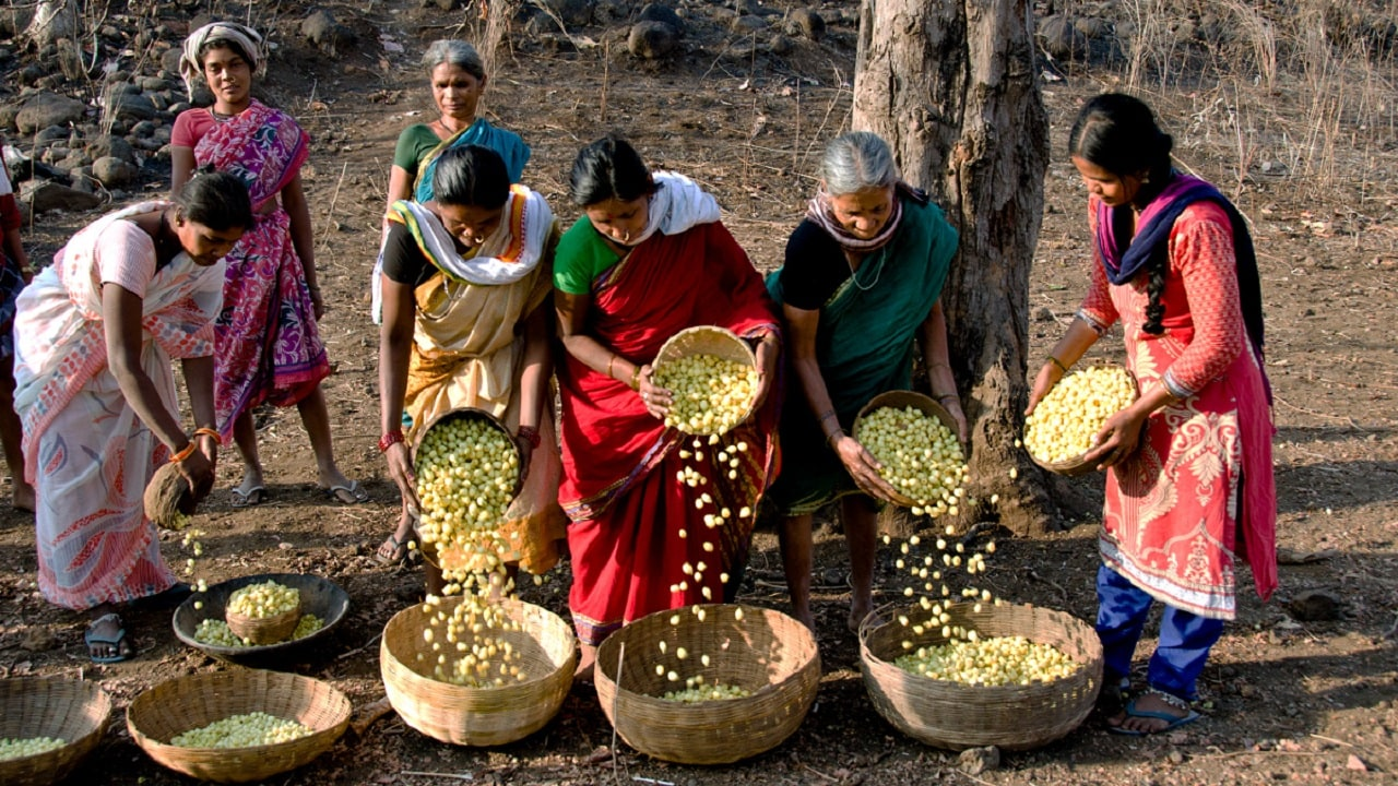 in telangana u0026 39 s interiors  the mahua tree remains sacred  even as demand for its flowers