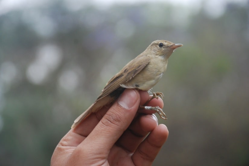 Blyth's reed warbler, a European migrant in India