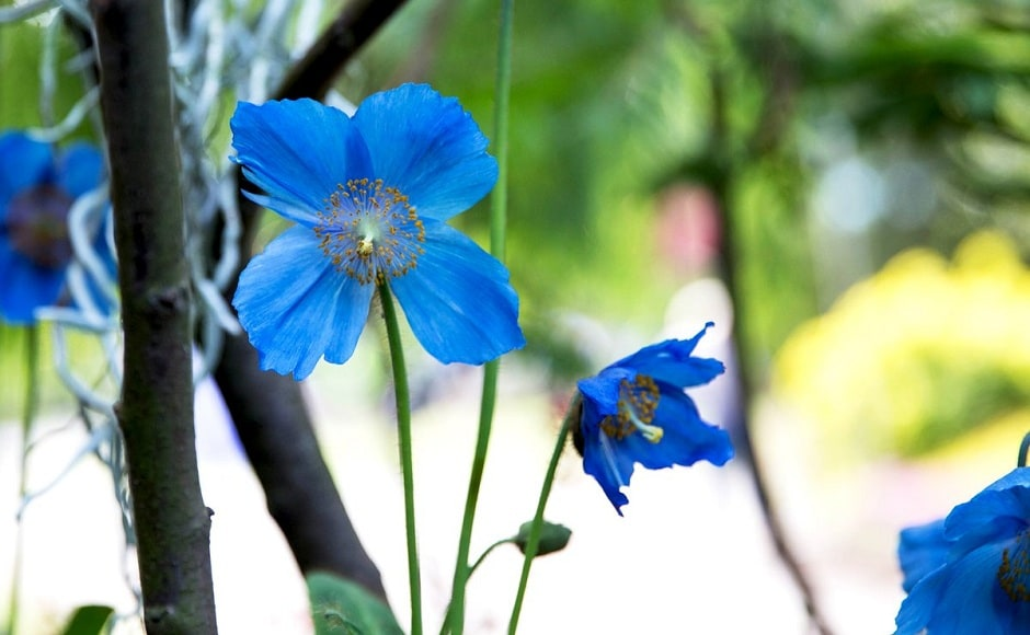 Apart from paying homage to Sachin Tendulkar, the show also features rare Himalayan Blue poppies, which signify the colour of the Indian cricket team's jerseys. Twitter/@inBritish