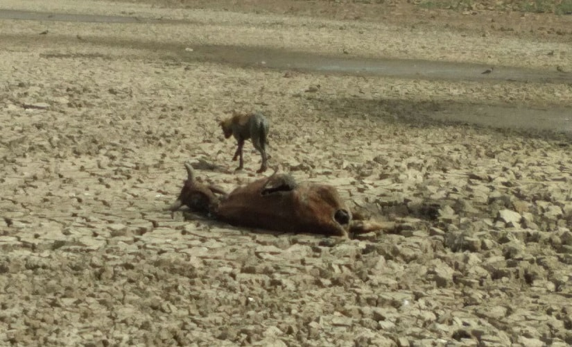 Amidst human misery, there is severe shortage of fodder and water for the cattle. Firstpost pics