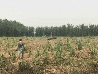 A sugarcane field in Thanabhavan area.