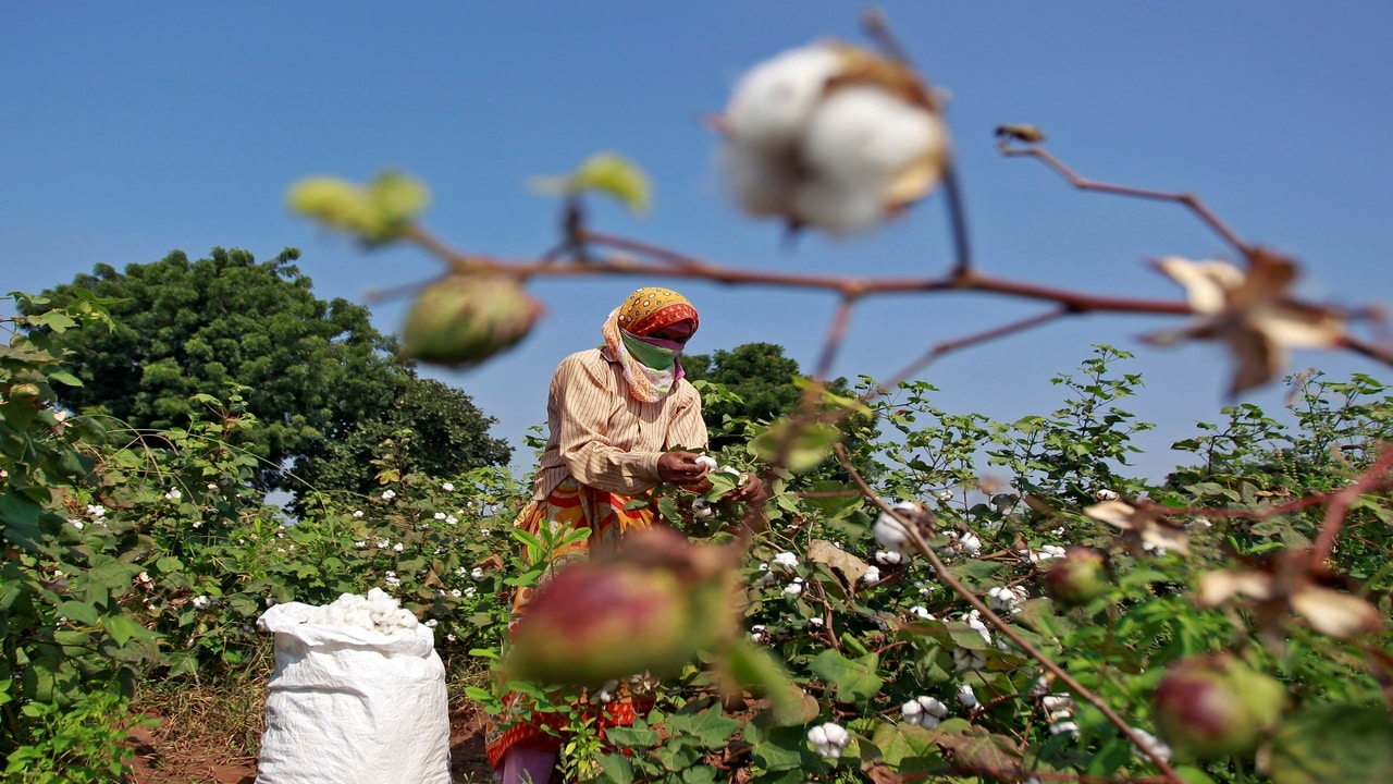 A worker harvests cotton in a field on the outskirts of Ahmedabad. Image: Reuters