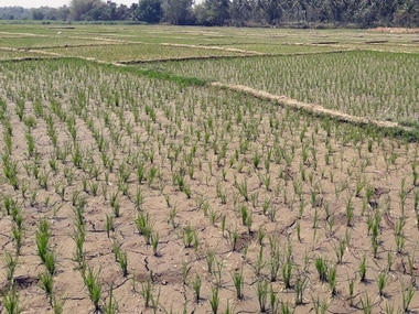 Withered paddy crops near KR Pete of Mandya district. Image courtest: Deena D'Silva