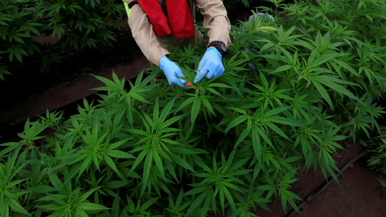 Cannabidiol could be used as an antibiotic against bacteria that cause serious infections- Technology News, Firstpost
