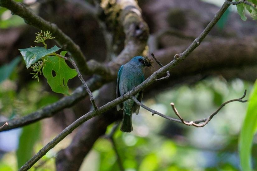 A pretty Blue Verditer Flycatcher outside our homestay in Landour