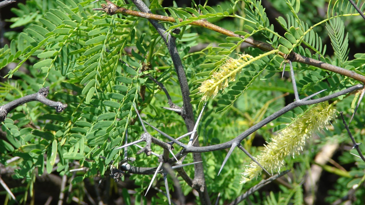 Prosopis Juliflora is a shrub or small tree with the capability to survive and grow in dry, arid and saline lands. It is considered an invasive weed in many countries, including India. Flickr