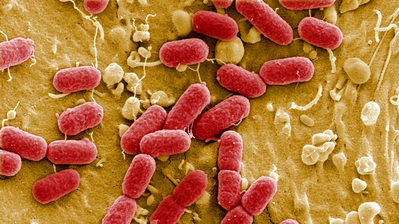 Scientists explain strange behaviour of gut bacteria resistant to TB drugs