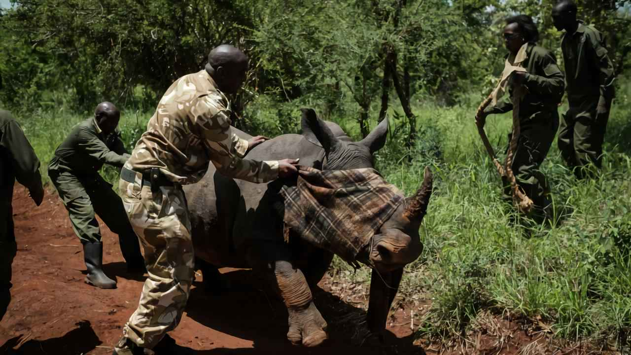 A ranger of Kenya Wildlife Services tries to calm down a female Southern white rhino after she was shot by a tranquilizer from a helicopter during an ear-notching exercise for identification at Meru National Park April 5, 2018. Imafe: AFP