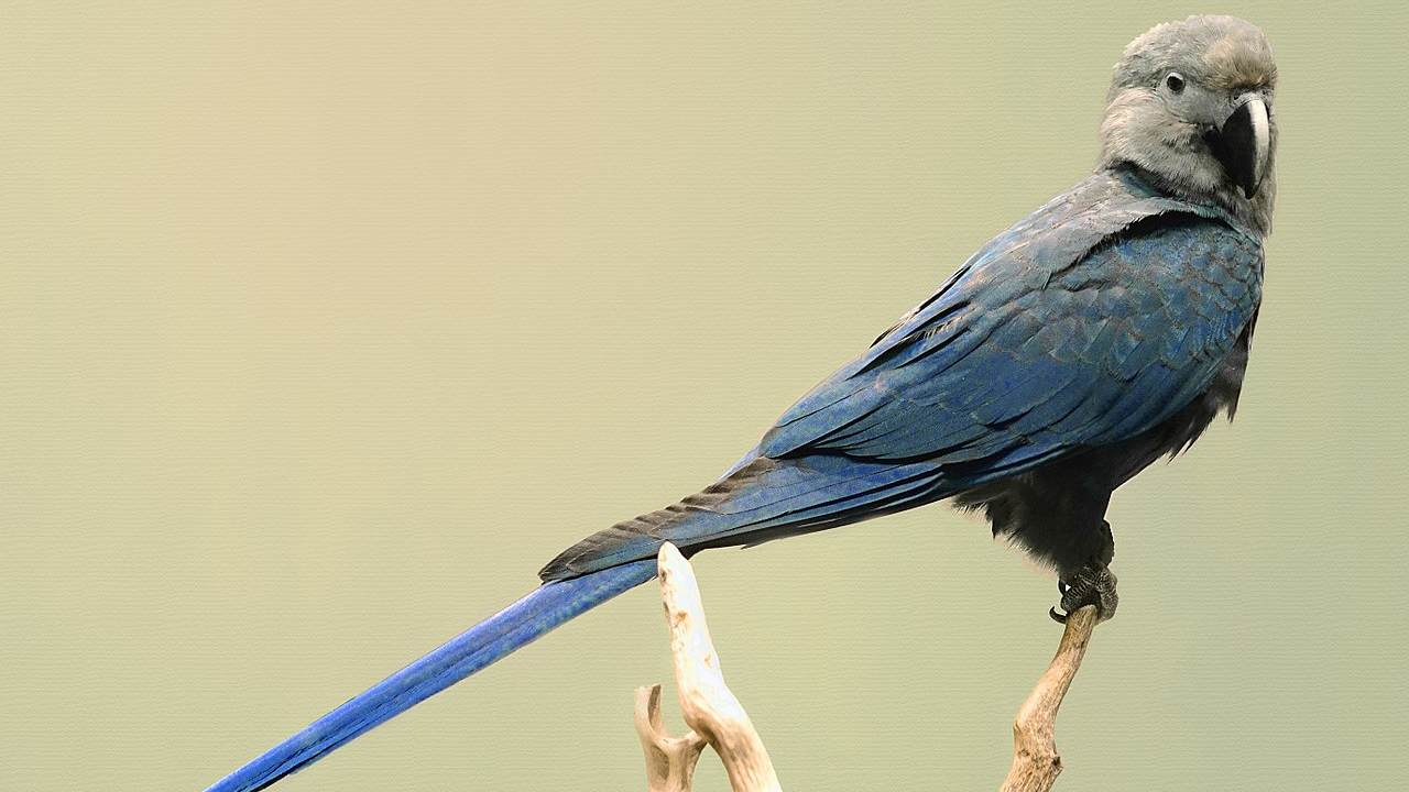 The Spix's Macaw. Image courtesy: Wikimedia Commons