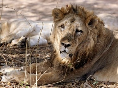Gir lions' deaths: Officials fail to ascertain actual cause; multiple hypotheses, experts could muddy investigation