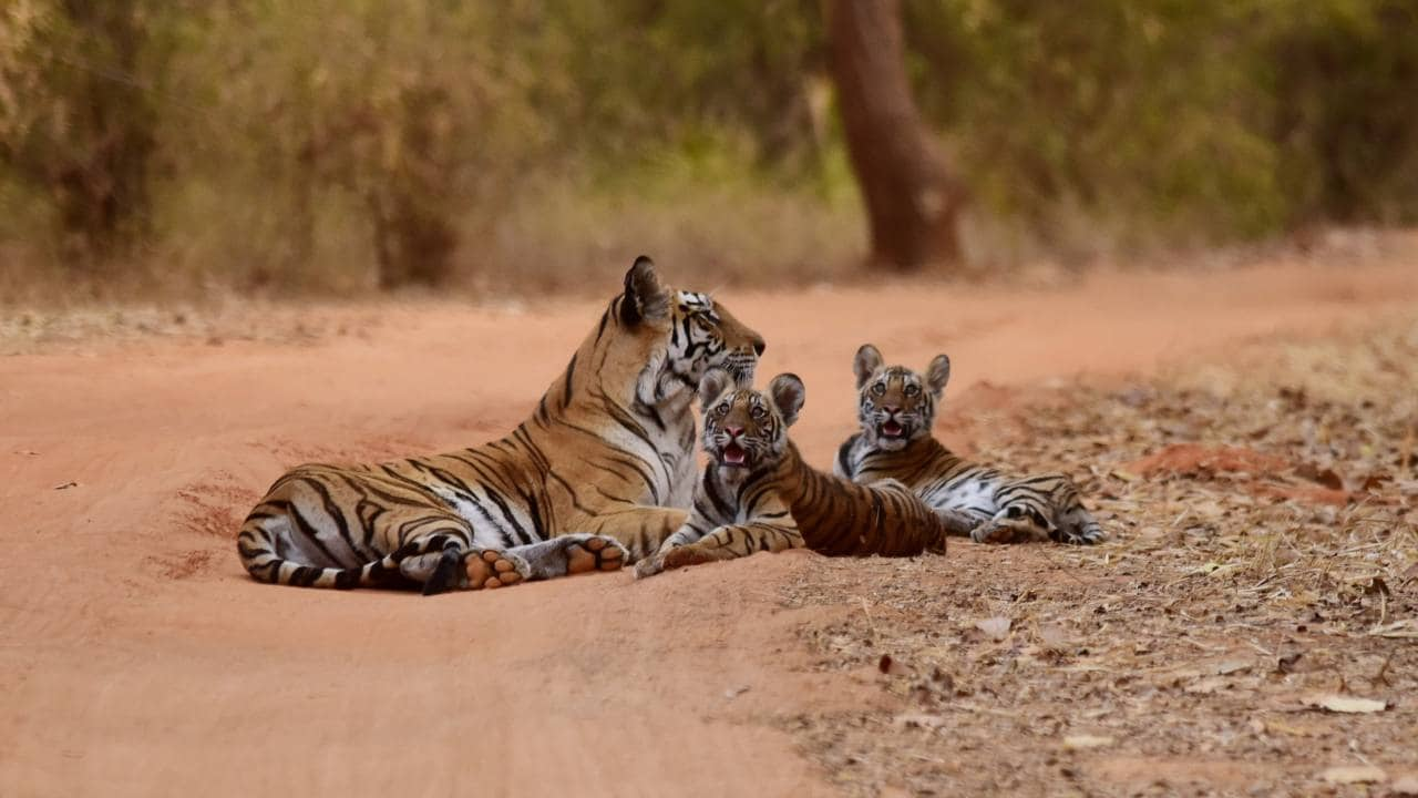 Tiger populations dwindling, just six sub-species still in existence: Study