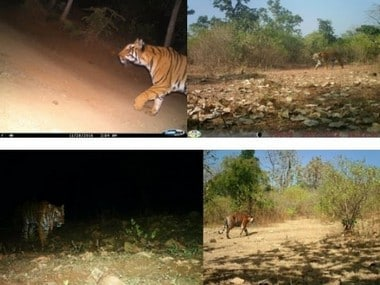 'Man-eater' tigress Avni shot dead to save lives of officials who tried to tranquilise her, says Maharashtra forest minister