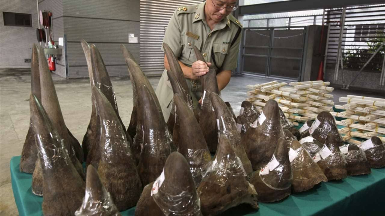 Rhino horns seized in Hong Kong by a customs official. Image courtesy: Rhino Project