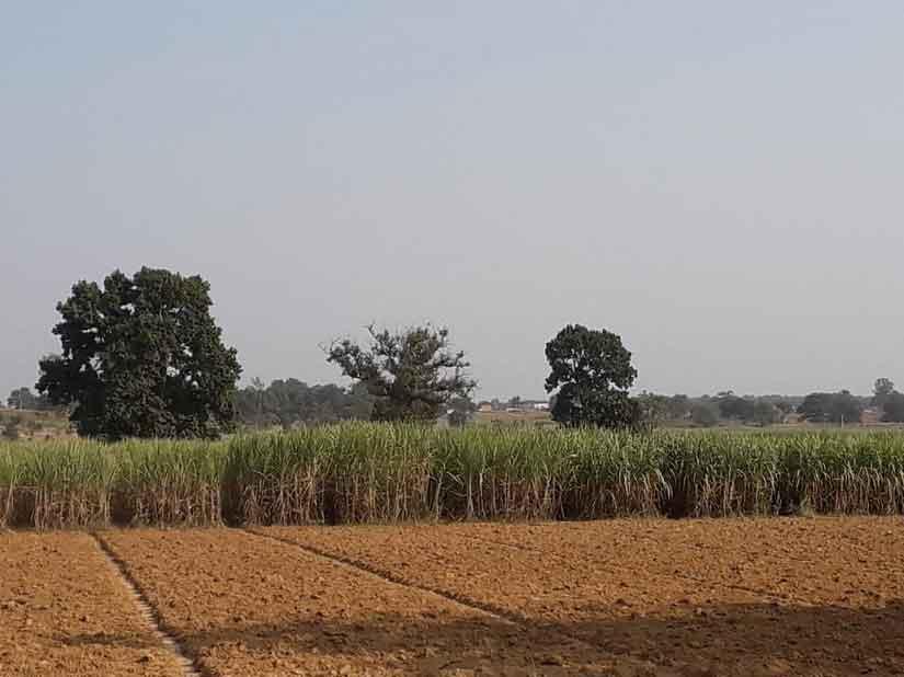 A sugarcane farm in  Chhattisgarh's Surguja. Image Courtesy: Parth MN