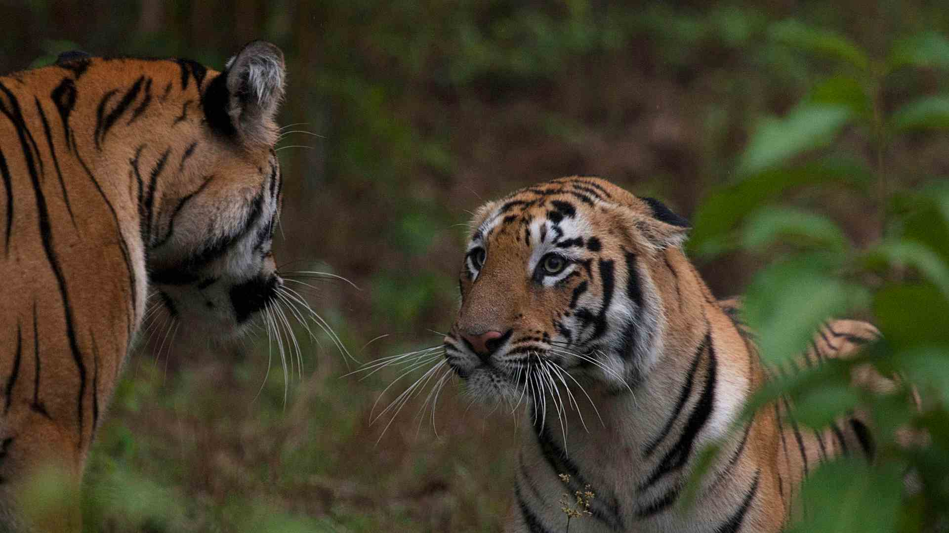 Doubling tiger population by 2022 unrealistic; experts cite scarce prey, rampant poaching