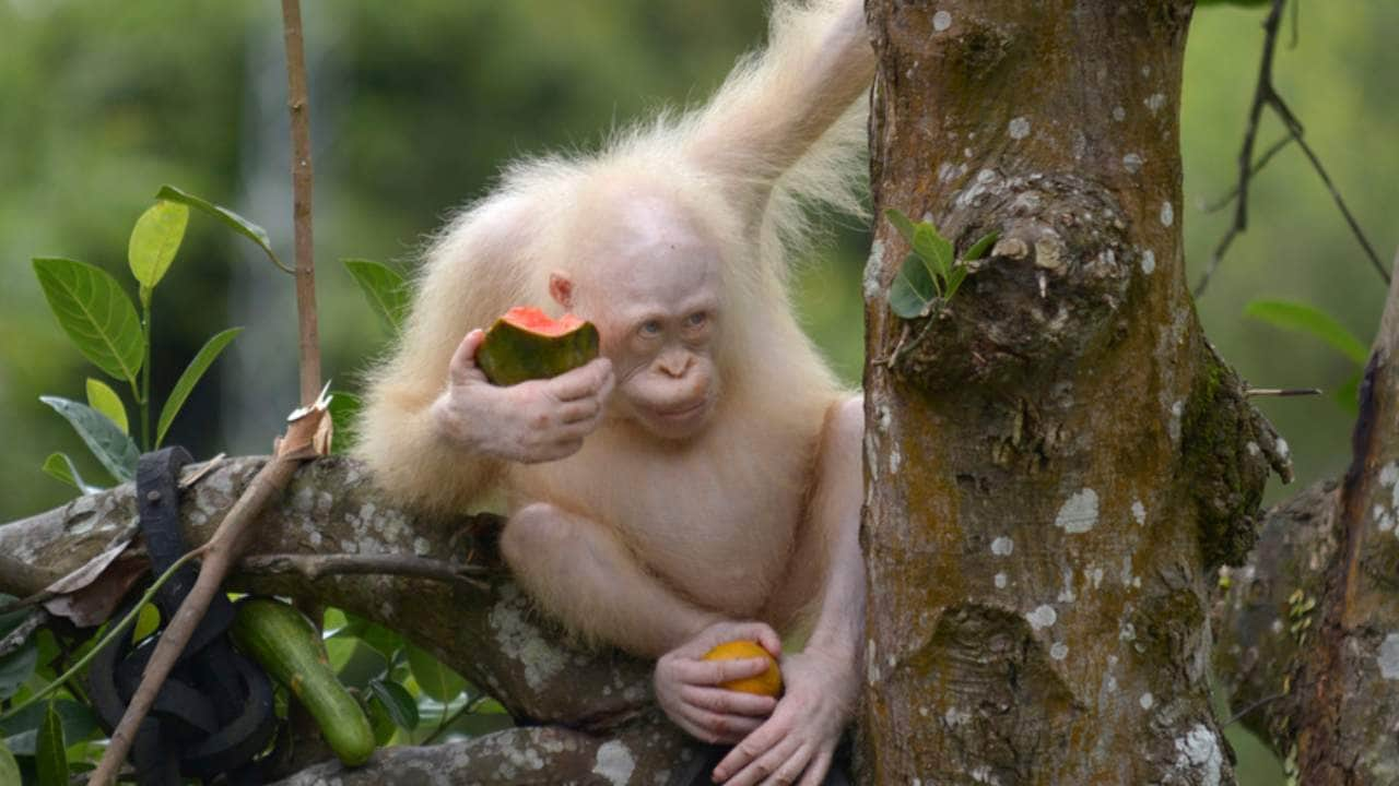 Alba sits on a branch of a tree while eating watermelon at Nyaru Menteng Orangutan Rehabilitation Center in Kalimantan, Indonesia. The Borneo Orangutan Survival (BOS) Foundation wanted to create a 12-acre