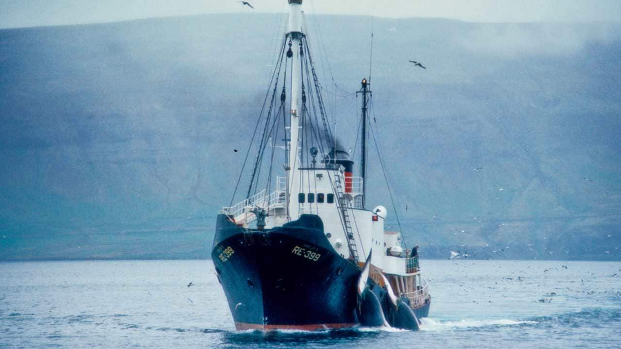 An Icelandic whaling catcher with 2 whales. Image: IWC
