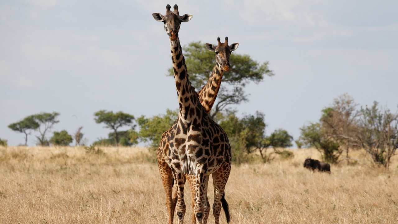 American Souvenir Hunters Causing Silent Extinction Of Giraffes In Africa It S Time Us Put The Animal On Endangered List World News Firstpost
