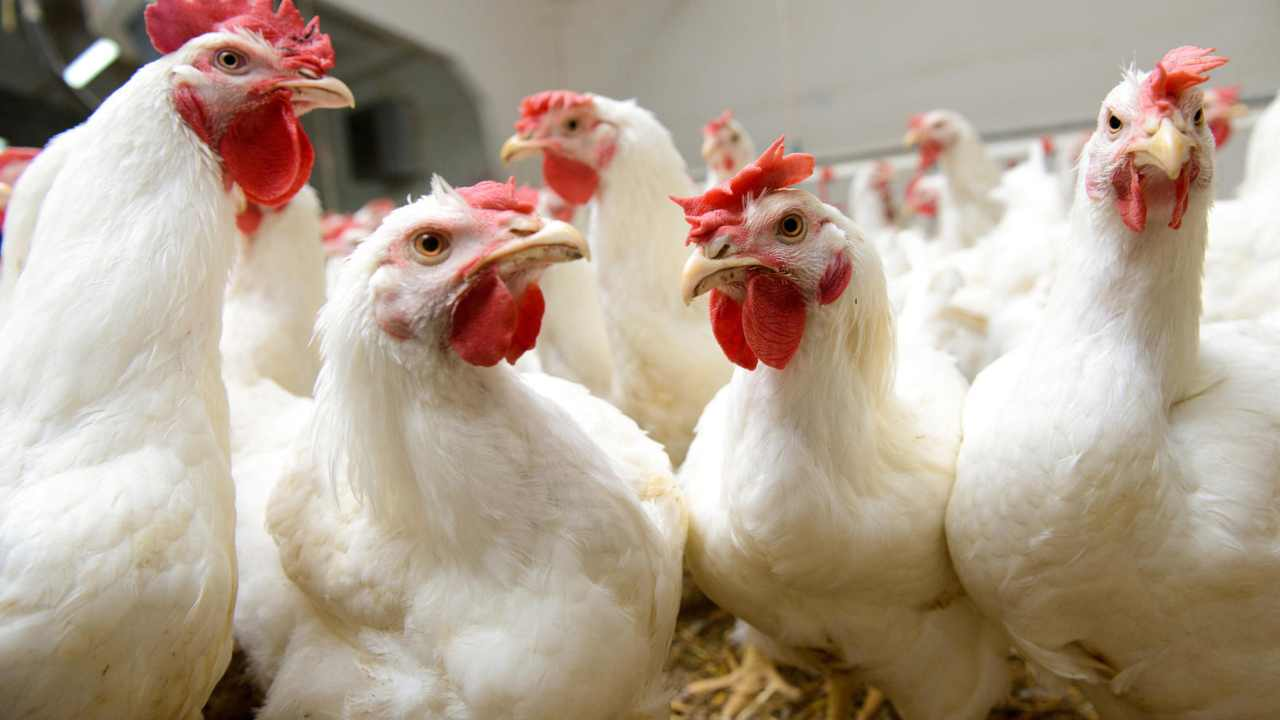 People who come into contact with sick chickens, ducks, or turkeys are more likely to get the virus. Image courtesy: WUWM