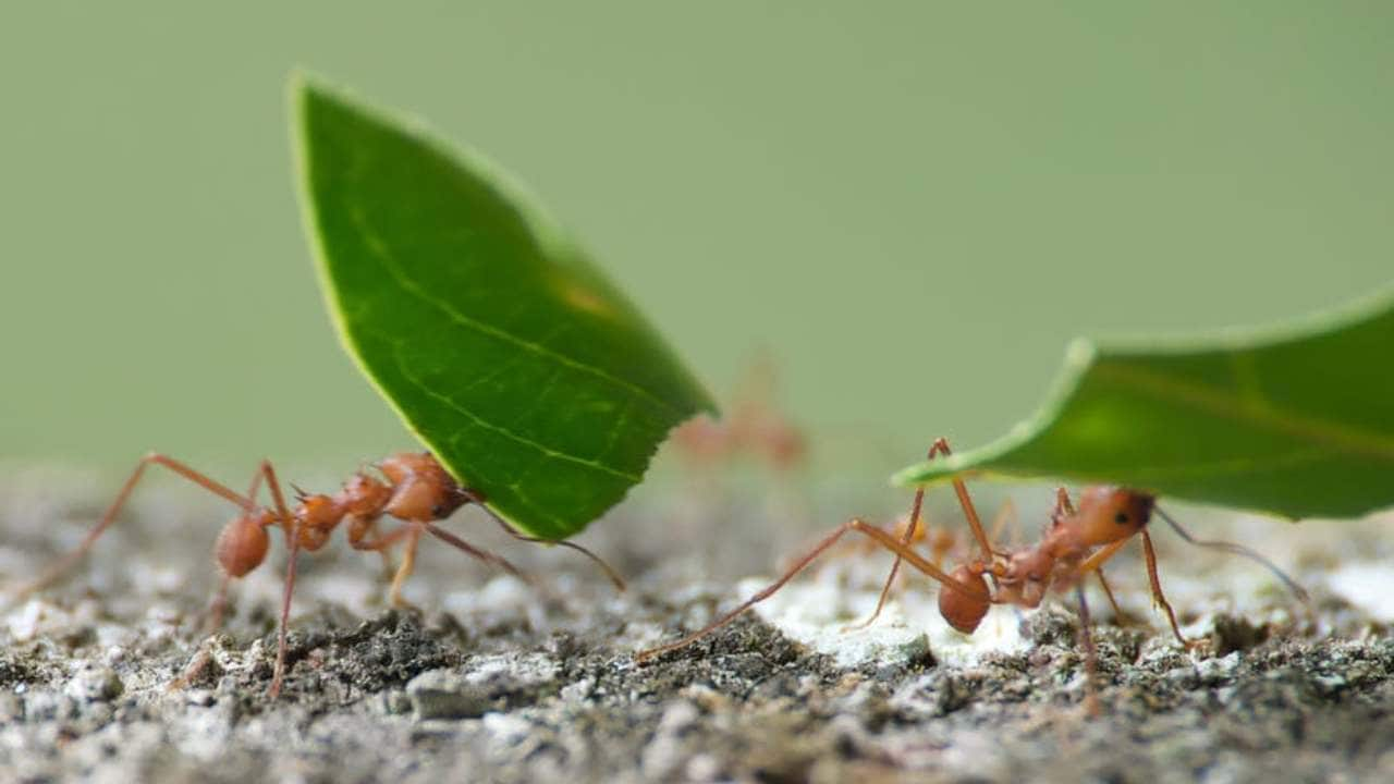 Ants build big structures without coordination or communicating with each other