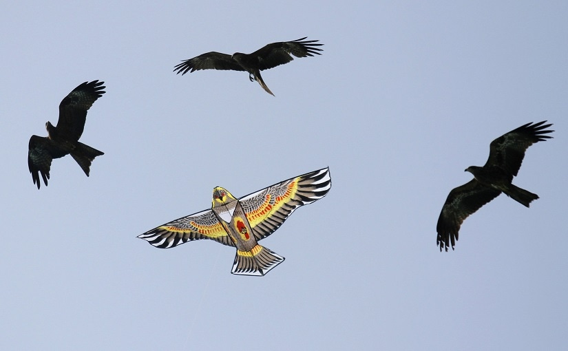 the density of kites and strings that becomes dangerous for birds — the skies become a death trap