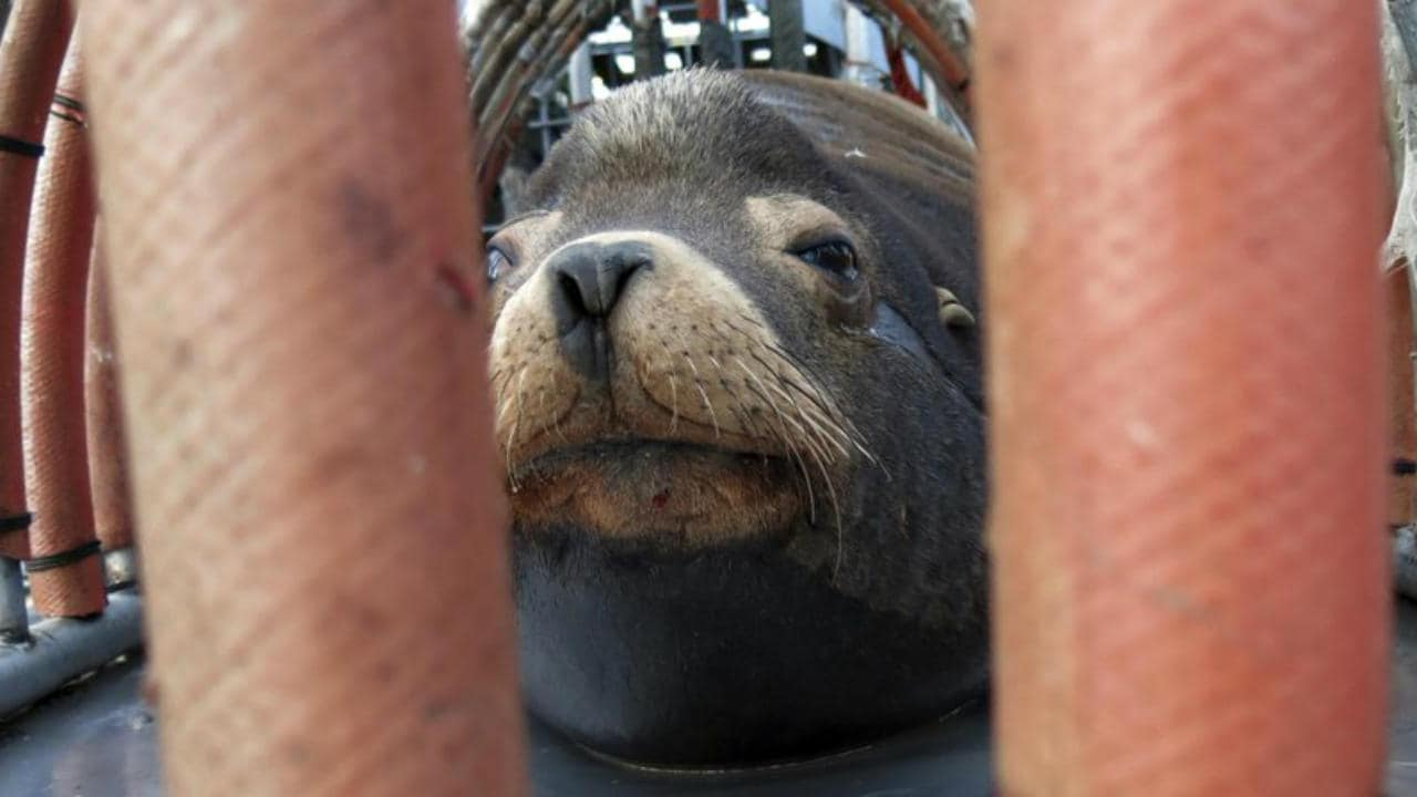 Oregon wildlife officials begin killing California sea lions after relocation fails