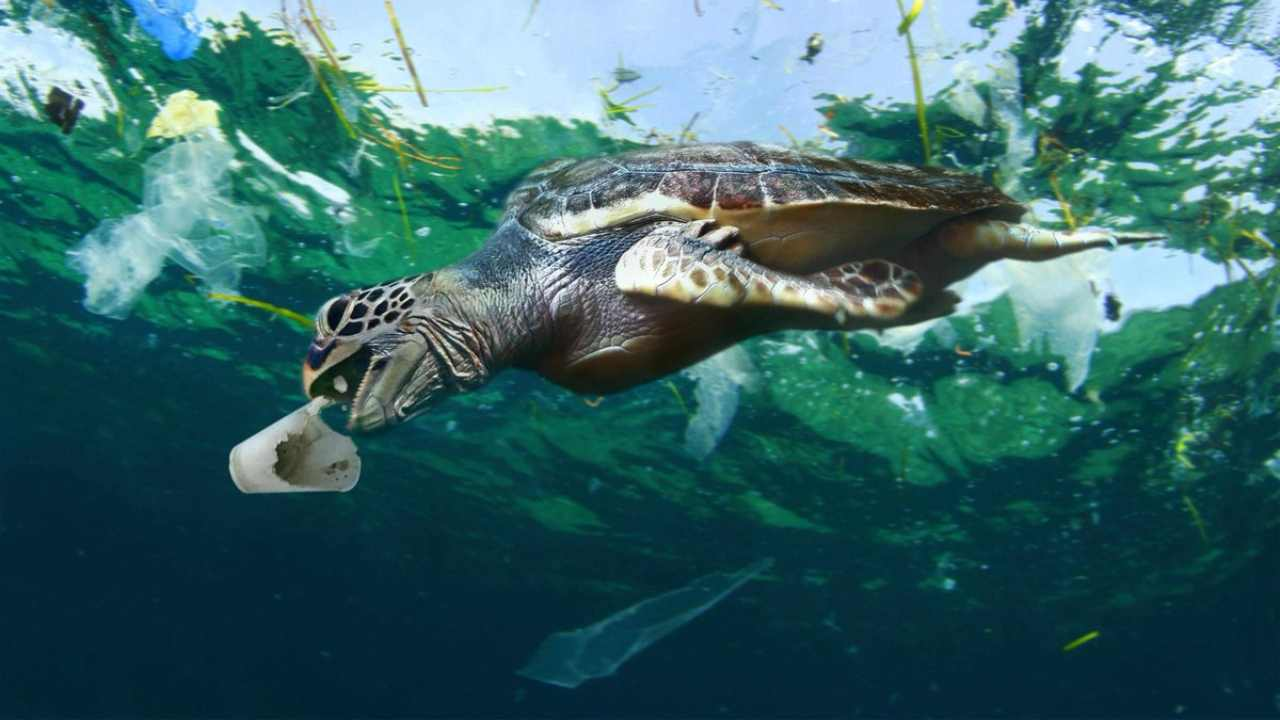 A young turtle eating plastic. Image courtesy: Queensland Department of Education