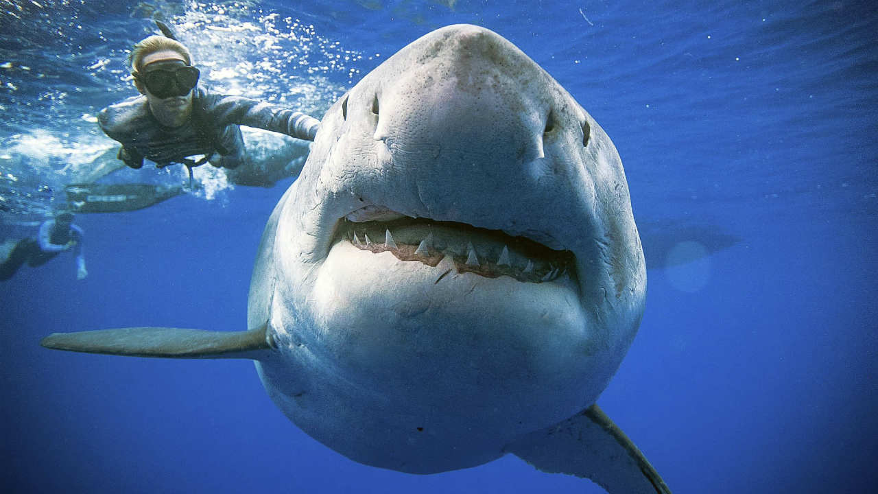 Researchers come face to face with possibly the largest great white shark ever