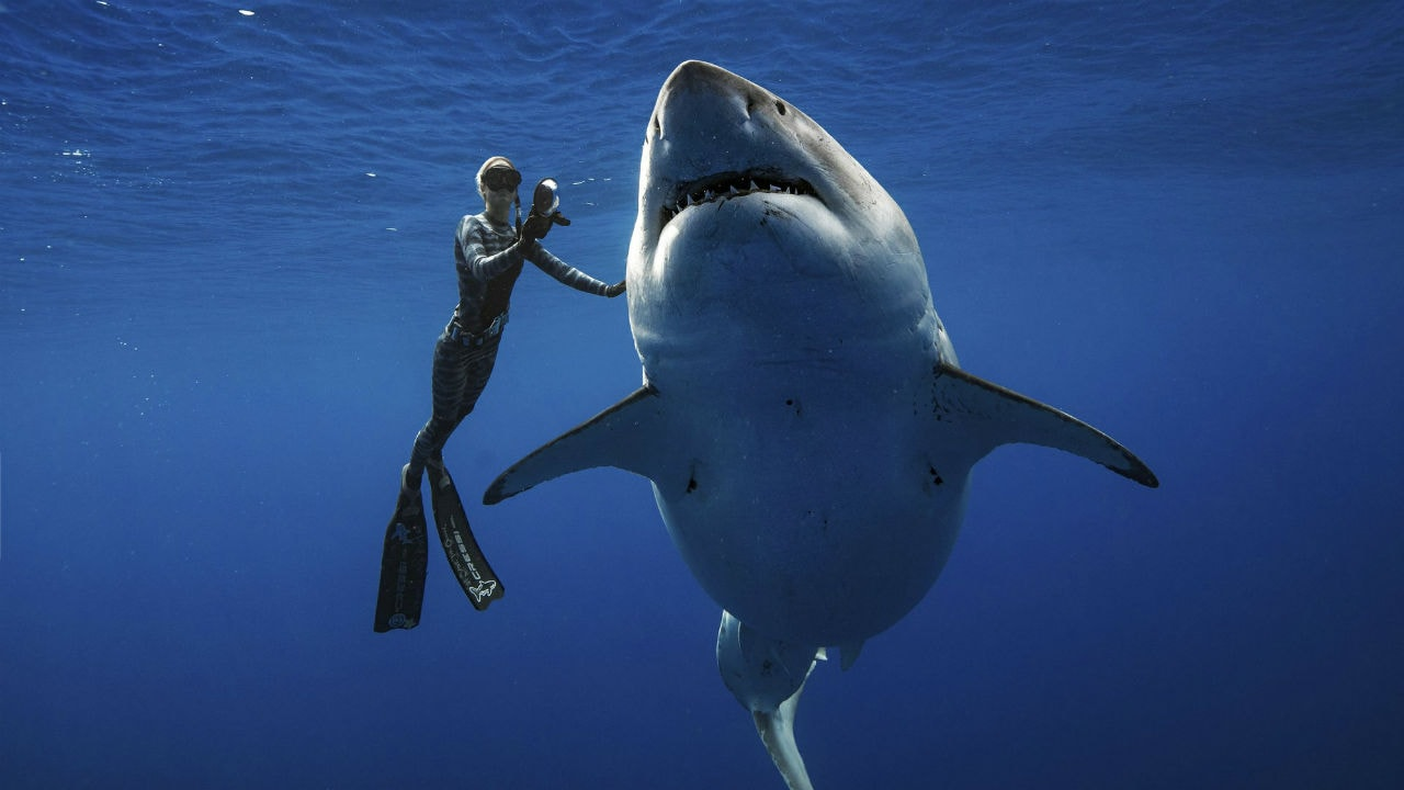 Ocean Ramsey, a shark researcher and advocate, swims with a large great white shark off the shore of Oahu. Image: AP