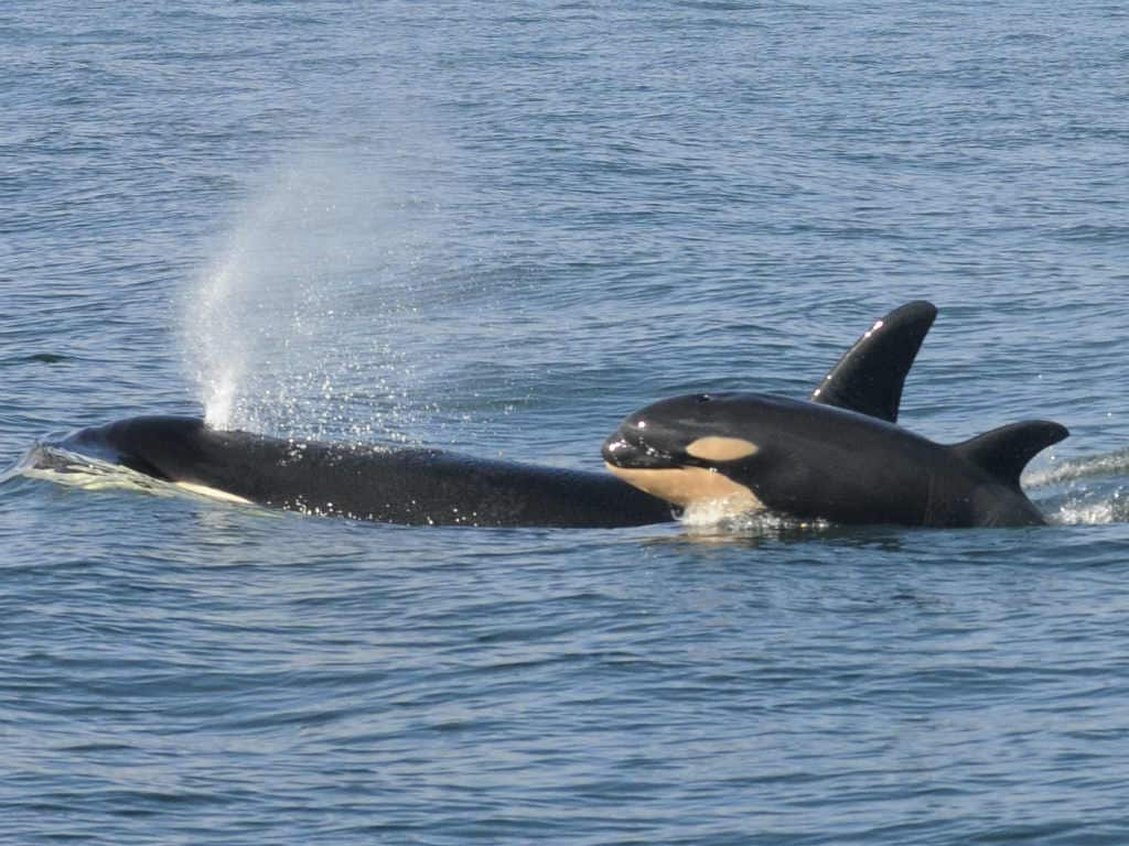 New killer whale calf spotted amongst critically endangered Northwest Orcas: Report