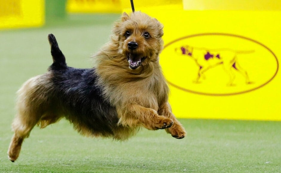 The Australian terrier, Bacon, competing in the terrier group at the Westminster dog show. According to an <em>NPR</em> report, judges decide which dog is best after comparing it within its own breed and the group's ideal standards. The Associated Press/ Frank Franklin II