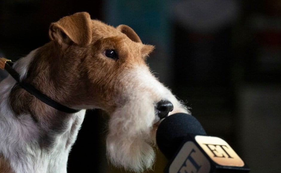 The Best in Show winner, King, leans towards a mic during a media event. Terrier breeder Diane Orange explained that terriers' personality helps them do particularly well in the competitive tension of a national dog show, the <em>NPR</em> report said. The Associated Press/ Mark Lennihan