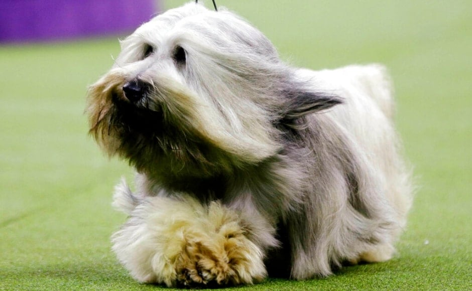 Murphy, a Skye terrier, was also among the contestants in the terrier group at the 143rd Westminster Kennel Club Dog Show. The Associated Press/ Frank Franklin II