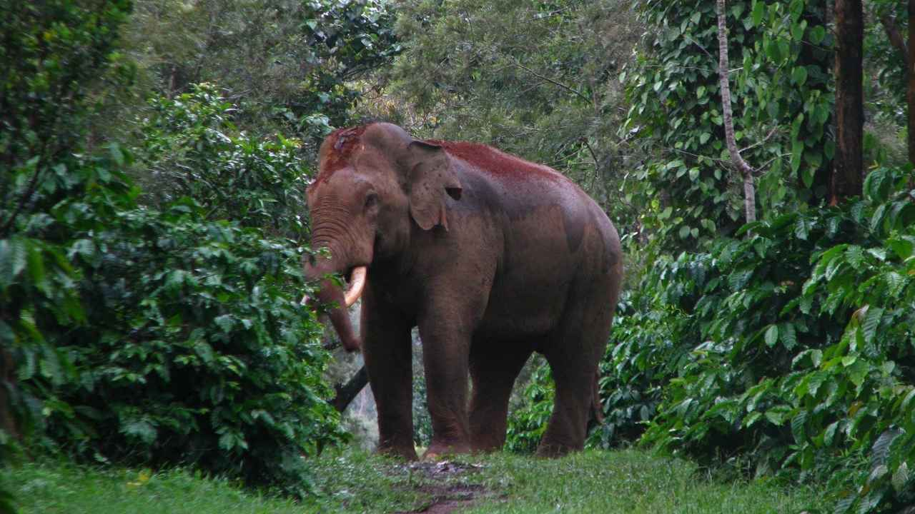 A new tusker in a coffee estate, Hassan. Image credit: Vinod