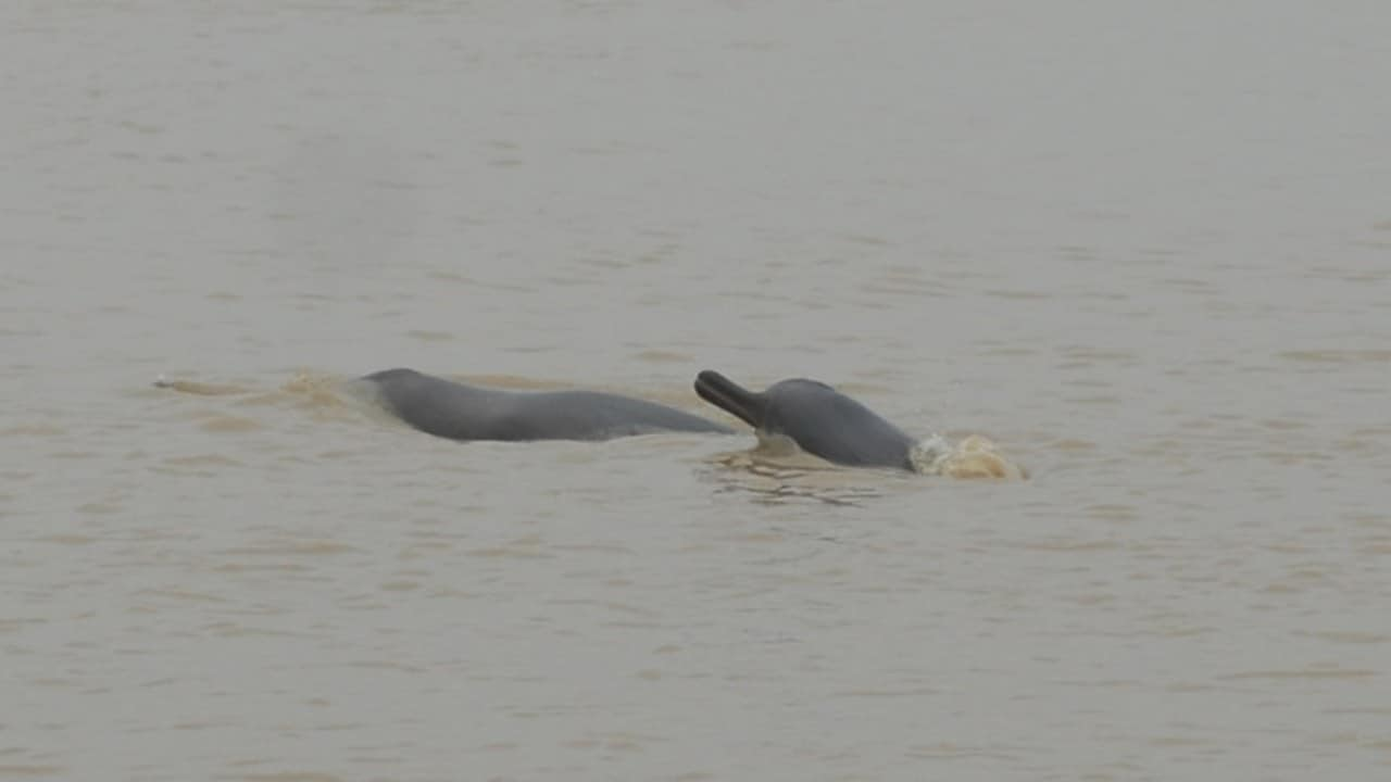 Ganges River Dolphin. Image credit: S Paudel