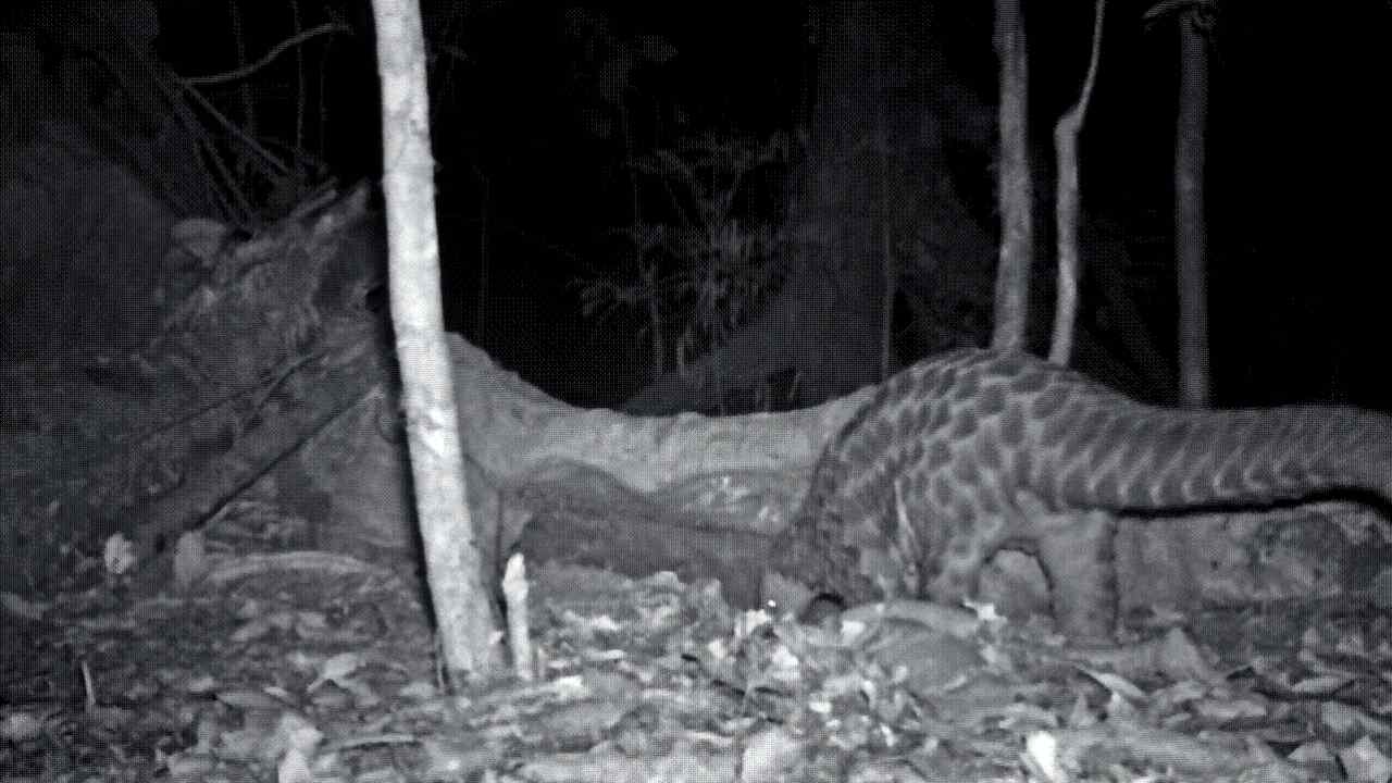 Earlier footage of Giant pangolins caught by camera traps at the Dja Reserve in Congo. Image credt: Congo Basin Institute