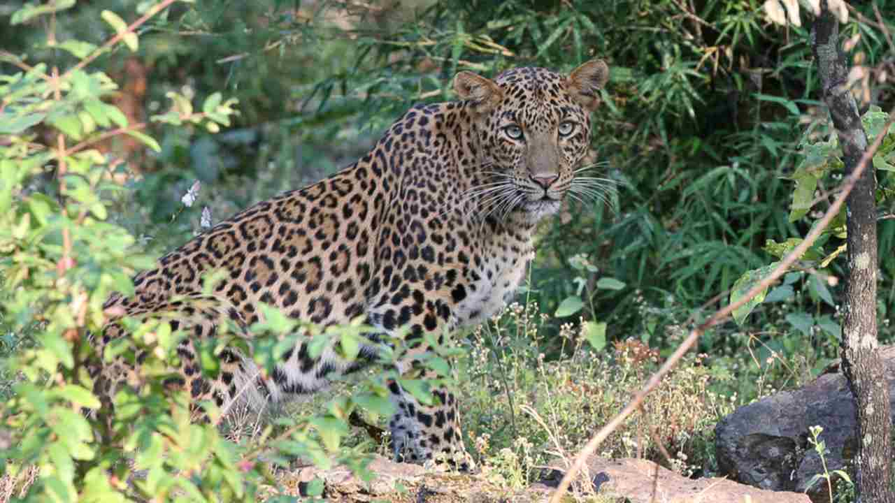 The good-old leopards we're familiar with. Image courtesy: Panthera.org