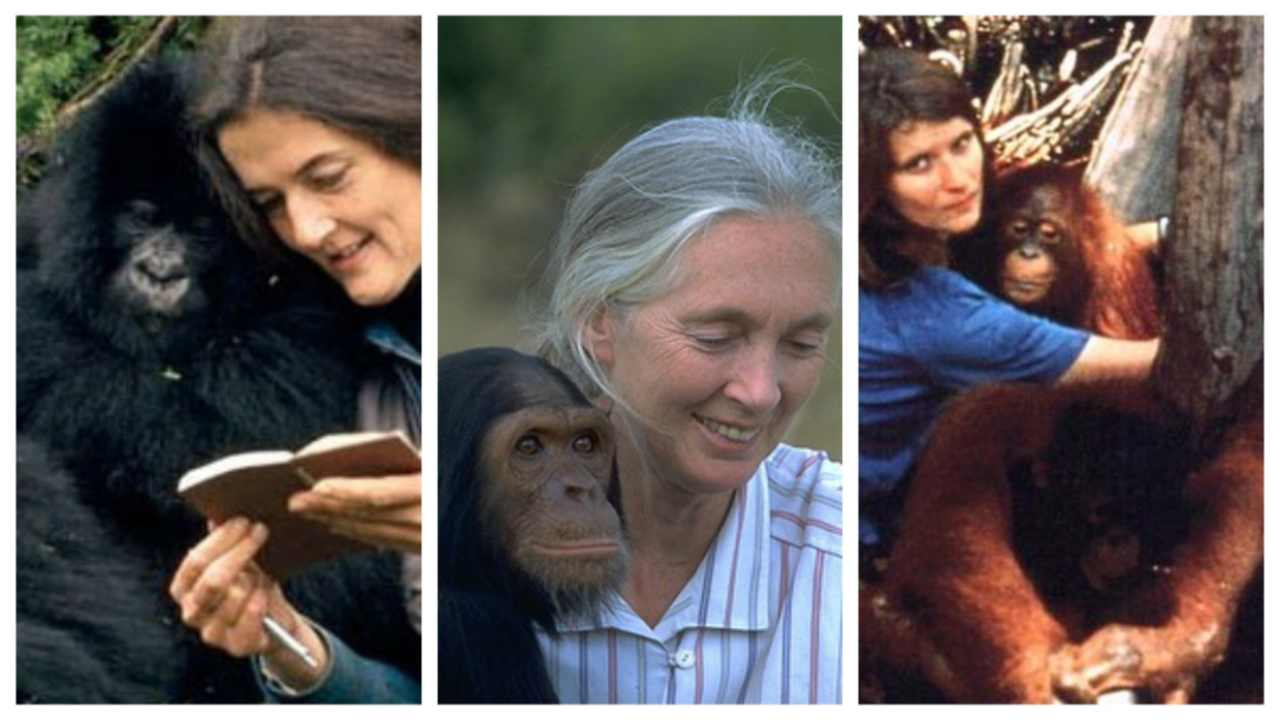 Dian Fossey, Jane Goodall and Birutė Galdikas –the trimates that taught us about primates. Image courtesy: One Green Planet