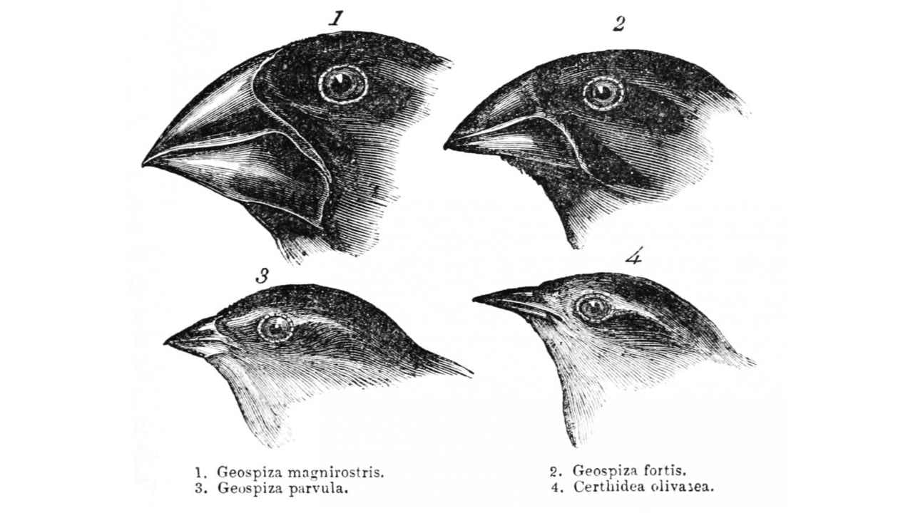 Varieties of Darwin's finches on the Galapagos island. Image: Gould
