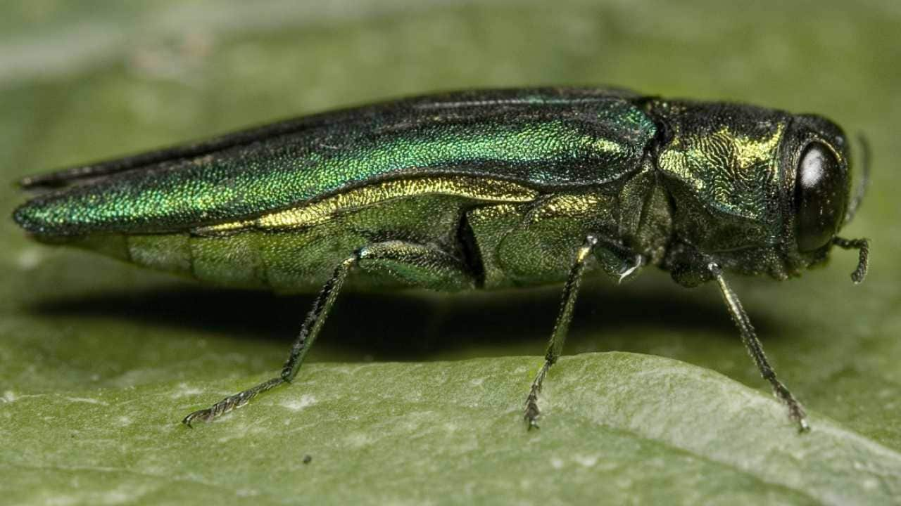 The emerald ash borer is destroying ash trees in 31 states. Image credit: Herman Wong HM