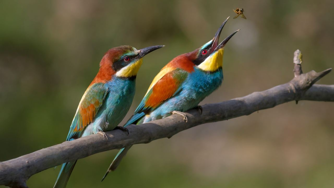 Bee-eaters are a brightly coloured, gregarious, and flamboyant bunch. They are fast and fierce as a missile when it comes to scoring a meal. They also have some of the most complex social behaviours seen in birds of any species. Image: Wikimedia Commons