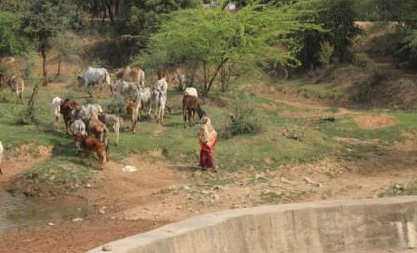 Stray cattle menace: MP farmers lose sleep over threat to crops from bovines; govt looks for answers in gaushalas
