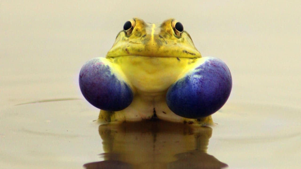 Indian Bullfrogs may not look like much… till mating season comes around. Both genders change drastically from a dull khaki-olive-green to brightly-coloured yellow and blue hues. The males put on their good suits to woo she-bullfrogs. Image: Pinterest/Ankush Naik